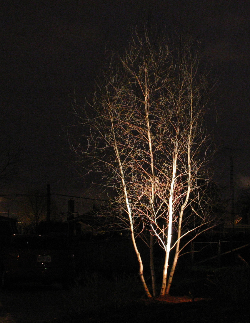 Up Lighting Birch Tree Late Fall Guelph Ontario